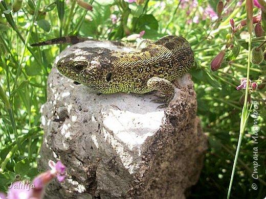 Всем моим полуночным гостям ещё несколько картинок из жизни  моих ящерок. Те, кто смотрел первые серии, уже знакомы с этой егозой, которая народилась  этой весной. фото 26