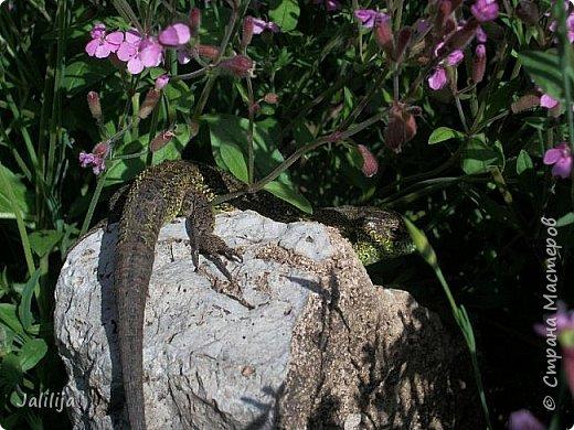 Всем моим полуночным гостям ещё несколько картинок из жизни  моих ящерок. Те, кто смотрел первые серии, уже знакомы с этой егозой, которая народилась  этой весной. фото 36