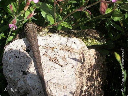 Всем моим полуночным гостям ещё несколько картинок из жизни  моих ящерок. Те, кто смотрел первые серии, уже знакомы с этой егозой, которая народилась  этой весной. фото 37