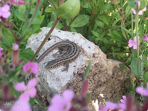 Всем моим полуночным гостям ещё несколько картинок из жизни  моих ящерок. Те, кто смотрел первые серии, уже знакомы с этой егозой, которая народилась  этой весной. фото 4