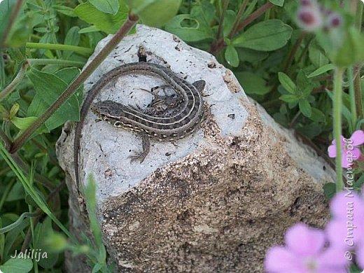Всем моим полуночным гостям ещё несколько картинок из жизни  моих ящерок. Те, кто смотрел первые серии, уже знакомы с этой егозой, которая народилась  этой весной. фото 5