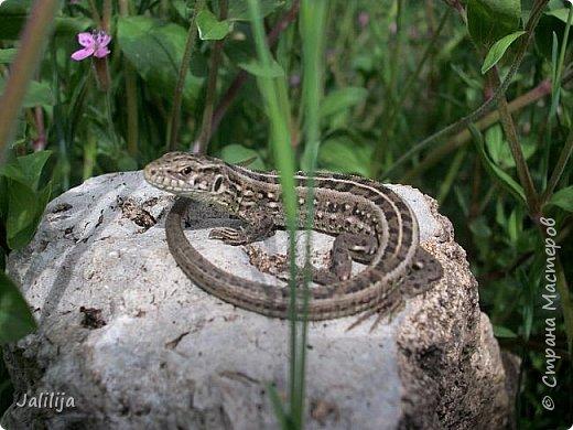Всем моим полуночным гостям ещё несколько картинок из жизни  моих ящерок. Те, кто смотрел первые серии, уже знакомы с этой егозой, которая народилась  этой весной. фото 6