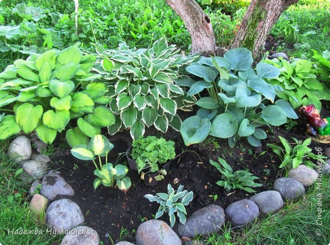 В каждом тенистом уголке моего сада растут хосты, они практически вытеснили все остальные цветы, которых раньше было великое множество. фото 28