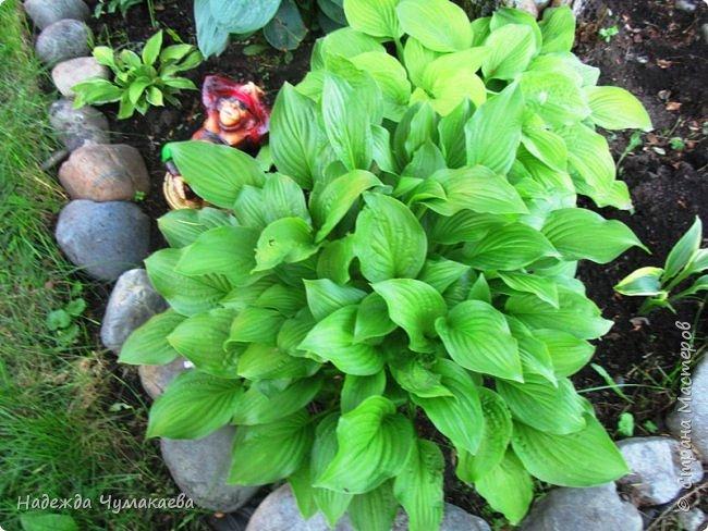 В каждом тенистом уголке моего сада растут хосты, они практически вытеснили все остальные цветы, которых раньше было великое множество. фото 27