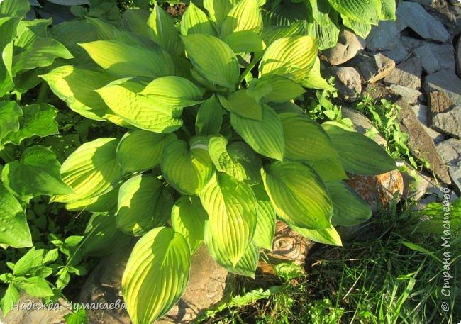 В каждом тенистом уголке моего сада растут хосты, они практически вытеснили все остальные цветы, которых раньше было великое множество. фото 40