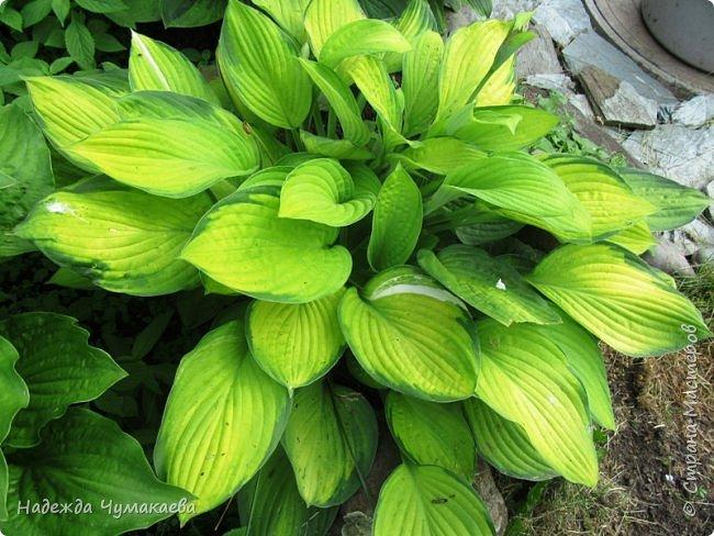 В каждом тенистом уголке моего сада растут хосты, они практически вытеснили все остальные цветы, которых раньше было великое множество. фото 31