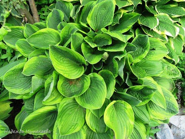 В каждом тенистом уголке моего сада растут хосты, они практически вытеснили все остальные цветы, которых раньше было великое множество. фото 35