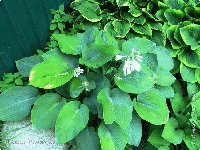 В каждом тенистом уголке моего сада растут хосты, они практически вытеснили все остальные цветы, которых раньше было великое множество. фото 33