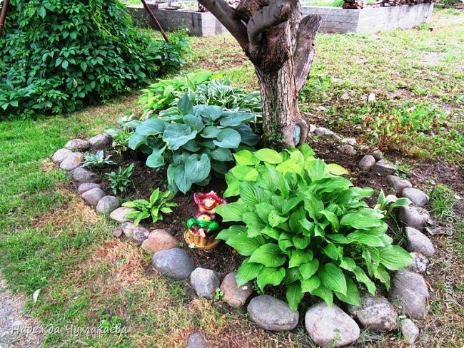 В каждом тенистом уголке моего сада растут хосты, они практически вытеснили все остальные цветы, которых раньше было великое множество. фото 25