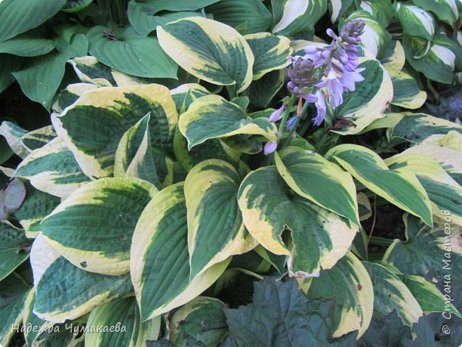 В каждом тенистом уголке моего сада растут хосты, они практически вытеснили все остальные цветы, которых раньше было великое множество. фото 12
