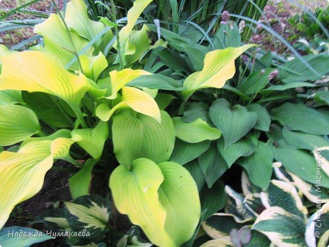 В каждом тенистом уголке моего сада растут хосты, они практически вытеснили все остальные цветы, которых раньше было великое множество. фото 6