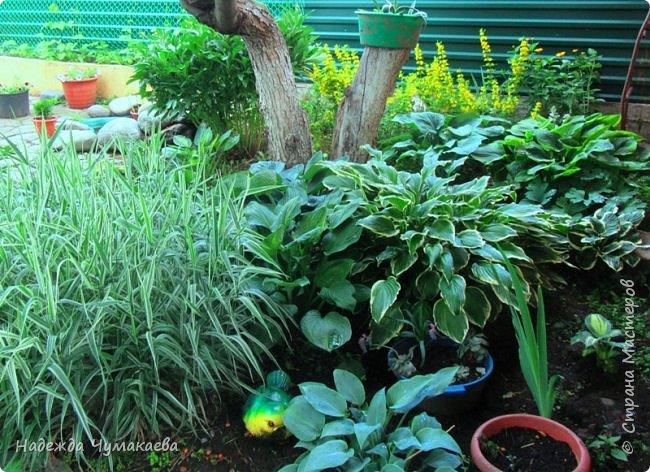 В каждом тенистом уголке моего сада растут хосты, они практически вытеснили все остальные цветы, которых раньше было великое множество. фото 17