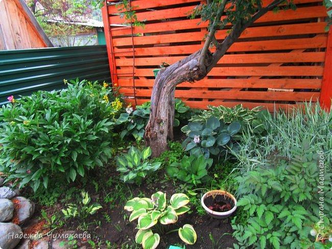 В каждом тенистом уголке моего сада растут хосты, они практически вытеснили все остальные цветы, которых раньше было великое множество. фото 18
