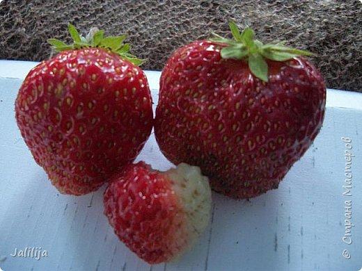 Два маленьких советика на бегу для любителей клубнички. Хорошие ягоды непросто вырастить. Ещё труднее их  сохранить до спелости. У нас, например,  много охотников до спелых ягод. Особенно одолевают дрозды. Да и целая армия воробьёв непрочь полакомиться вкусной ягодой.  фото 11