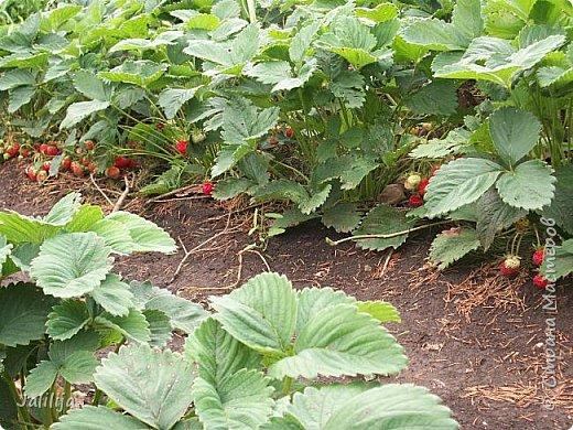 Два маленьких советика на бегу для любителей клубнички. Хорошие ягоды непросто вырастить. Ещё труднее их  сохранить до спелости. У нас, например,  много охотников до спелых ягод. Особенно одолевают дрозды. Да и целая армия воробьёв непрочь полакомиться вкусной ягодой.  фото 5