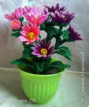 Хризантема кустовая фото 1
