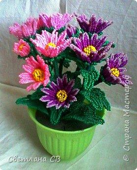 Хризантема кустовая фото 2