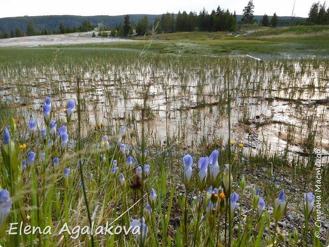 Хочу поделится впечатлениями от поездки в Йе́ллоустон (Yellowstone National Park)— международный биосферный заповедник, объект Всемирного Наследия ЮНЕСКО, первый в мире национальный парк (основан 1 марта 1872 года).  Находится в США, на территории штатов Вайоминг, Монтана и Айдахо.  Парк знаменит многочисленными гейзерами и другими геотермическими объектами, богатой живой природой, живописными ландшафтами.  ( взято из Википедии ) Мы останавливались в кемпингах в палатках. Парк произвел на нас огромное впечатление. Очень хочется поделится с вами красотой которую я увидела.  фото 26