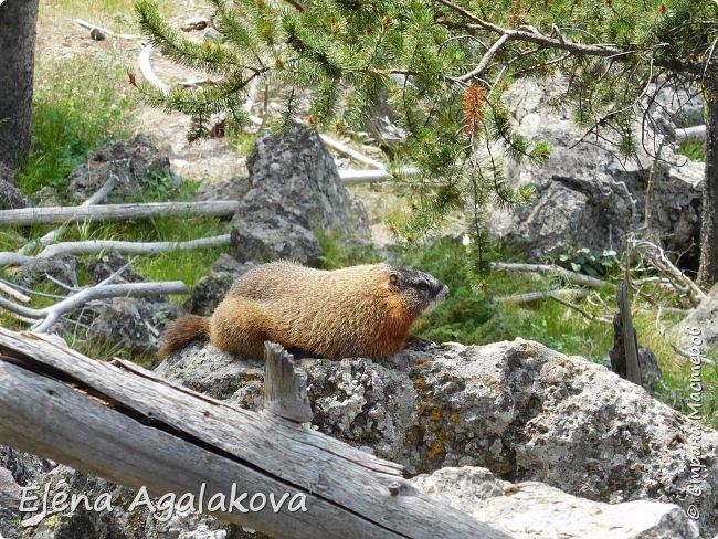 Хочу поделится впечатлениями от поездки в Йе́ллоустон (Yellowstone National Park)— международный биосферный заповедник, объект Всемирного Наследия ЮНЕСКО, первый в мире национальный парк (основан 1 марта 1872 года).  Находится в США, на территории штатов Вайоминг, Монтана и Айдахо.  Парк знаменит многочисленными гейзерами и другими геотермическими объектами, богатой живой природой, живописными ландшафтами.  ( взято из Википедии ) Мы останавливались в кемпингах в палатках. Парк произвел на нас огромное впечатление. Очень хочется поделится с вами красотой которую я увидела.  фото 32