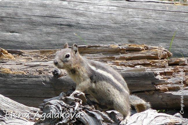 Хочу поделится впечатлениями от поездки в Йе́ллоустон (Yellowstone National Park)— международный биосферный заповедник, объект Всемирного Наследия ЮНЕСКО, первый в мире национальный парк (основан 1 марта 1872 года).  Находится в США, на территории штатов Вайоминг, Монтана и Айдахо.  Парк знаменит многочисленными гейзерами и другими геотермическими объектами, богатой живой природой, живописными ландшафтами.  ( взято из Википедии ) Мы останавливались в кемпингах в палатках. Парк произвел на нас огромное впечатление. Очень хочется поделится с вами красотой которую я увидела.  фото 30