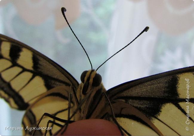 Вчера у нас произошло самое яркое событие этого незабываемого лета!!! У нас родилась бабочка!!!  Знакомьтесь, наш махаончик Июлька!  фото 9