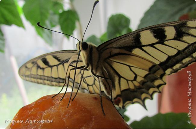 Вчера у нас произошло самое яркое событие этого незабываемого лета!!! У нас родилась бабочка!!!  Знакомьтесь, наш махаончик Июлька!  фото 15