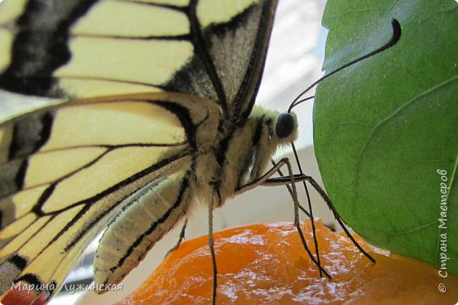 Вчера у нас произошло самое яркое событие этого незабываемого лета!!! У нас родилась бабочка!!!  Знакомьтесь, наш махаончик Июлька!  фото 17