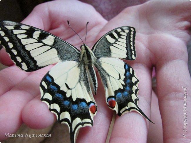 Вчера у нас произошло самое яркое событие этого незабываемого лета!!! У нас родилась бабочка!!!  Знакомьтесь, наш махаончик Июлька!  фото 1
