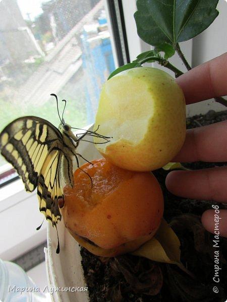 Вчера у нас произошло самое яркое событие этого незабываемого лета!!! У нас родилась бабочка!!!  Знакомьтесь, наш махаончик Июлька!  фото 16