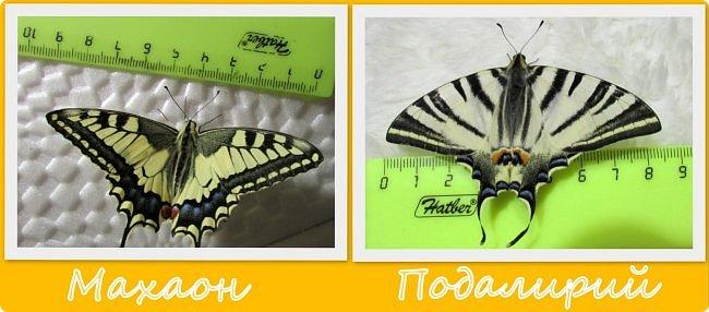 Вчера у нас произошло самое яркое событие этого незабываемого лета!!! У нас родилась бабочка!!!  Знакомьтесь, наш махаончик Июлька!  фото 19