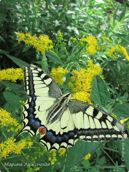 Вчера у нас произошло самое яркое событие этого незабываемого лета!!! У нас родилась бабочка!!!  Знакомьтесь, наш махаончик Июлька!  фото 24