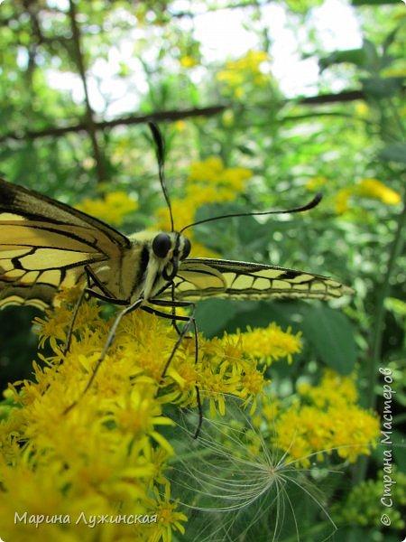 Вчера у нас произошло самое яркое событие этого незабываемого лета!!! У нас родилась бабочка!!!  Знакомьтесь, наш махаончик Июлька!  фото 25