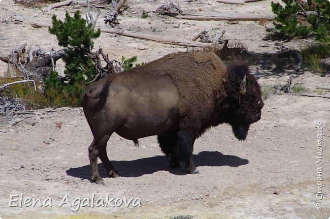 Продолжаю делится впечатлениями от поездки в Йе́ллоустон (Yellowstone National Park)— международный биосферный заповедник, объект Всемирного Наследия ЮНЕСКО, первый в мире национальный парк (основан 1 марта 1872 года). Находится в США, на территории штатов Вайоминг, Монтана и Айдахо. Парк знаменит многочисленными гейзерами и другими геотермическими объектами, богатой живой природой, живописными ландшафтами. ( взято из Википедии ) Мы останавливались в кемпингах в палатках. Парк произвел на нас огромное впечатление. Очень хочется поделится с вами красотой которую я увидела.  В один фоторепортаж трудно вместить все увиденное.  фото 44