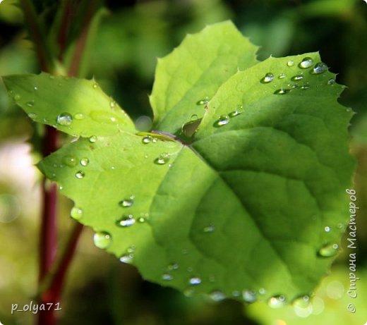Здравствуйте,мои дорогие!!! Спешу поделиться новой порцией позитива)) В пятницу,21.07.17, прошёл дождь и я вышла в огород с фотоаппаратом)) Капли на диком(девичий)винограде фото 8