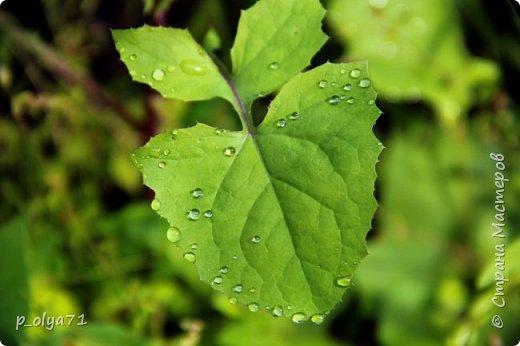 Здравствуйте,мои дорогие!!! Спешу поделиться новой порцией позитива)) В пятницу,21.07.17, прошёл дождь и я вышла в огород с фотоаппаратом)) Капли на диком(девичий)винограде фото 7