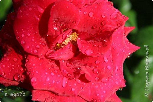 Здравствуйте,мои дорогие!!! Спешу поделиться новой порцией позитива)) В пятницу,21.07.17, прошёл дождь и я вышла в огород с фотоаппаратом)) Капли на диком(девичий)винограде фото 14