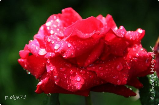 Здравствуйте,мои дорогие!!! Спешу поделиться новой порцией позитива)) В пятницу,21.07.17, прошёл дождь и я вышла в огород с фотоаппаратом)) Капли на диком(девичий)винограде фото 12