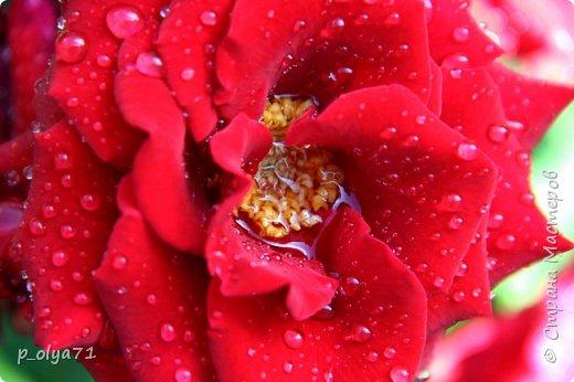 Здравствуйте,мои дорогие!!! Спешу поделиться новой порцией позитива)) В пятницу,21.07.17, прошёл дождь и я вышла в огород с фотоаппаратом)) Капли на диком(девичий)винограде фото 15