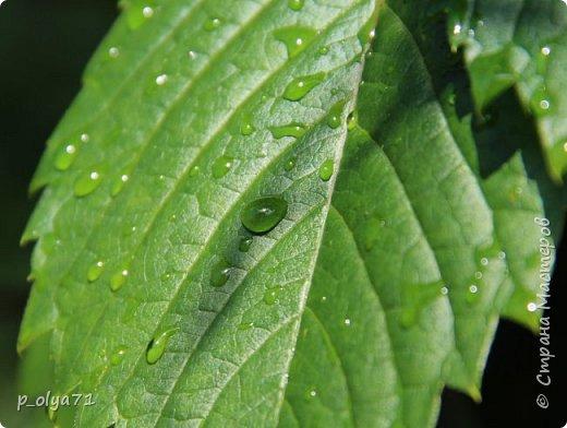 Здравствуйте,мои дорогие!!! Спешу поделиться новой порцией позитива)) В пятницу,21.07.17, прошёл дождь и я вышла в огород с фотоаппаратом)) Капли на диком(девичий)винограде фото 4