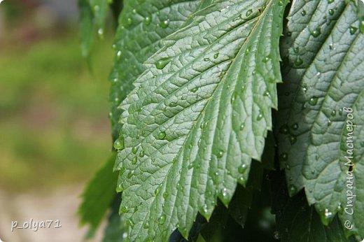 Здравствуйте,мои дорогие!!! Спешу поделиться новой порцией позитива)) В пятницу,21.07.17, прошёл дождь и я вышла в огород с фотоаппаратом)) Капли на диком(девичий)винограде фото 2
