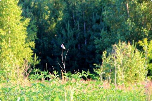 Здравствуйте,мои дорогие!!! Спешу поделиться новой порцией позитива)) В пятницу,21.07.17, прошёл дождь и я вышла в огород с фотоаппаратом)) Капли на диком(девичий)винограде фото 32