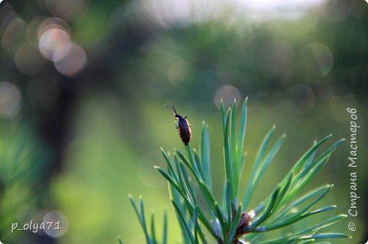 Здравствуйте,мои дорогие!!! Спешу поделиться новой порцией позитива)) В пятницу,21.07.17, прошёл дождь и я вышла в огород с фотоаппаратом)) Капли на диком(девичий)винограде фото 57