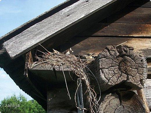 Ещё одна летняя история. Приехав однажды из города в деревню мы обнаружили какое-то движение под крышей старого сарая. фото 16