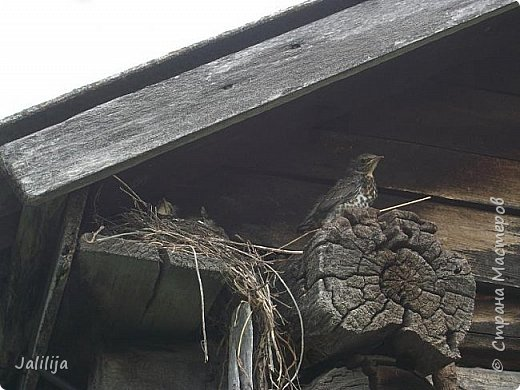 Ещё одна летняя история. Приехав однажды из города в деревню мы обнаружили какое-то движение под крышей старого сарая. фото 18