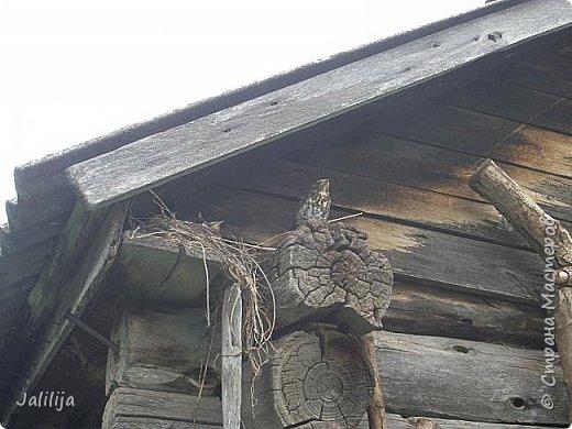 Ещё одна летняя история. Приехав однажды из города в деревню мы обнаружили какое-то движение под крышей старого сарая. фото 19