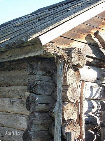 Ещё одна летняя история. Приехав однажды из города в деревню мы обнаружили какое-то движение под крышей старого сарая. фото 2