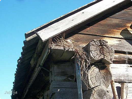 Ещё одна летняя история. Приехав однажды из города в деревню мы обнаружили какое-то движение под крышей старого сарая. фото 5