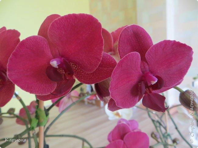 Здравствуйте жители См! Сегодня я к вам не с рукотвроными цветочками а с живыми!  Хочу представить вам мою цветочную любовь! Мои орхидеи))  фото 2
