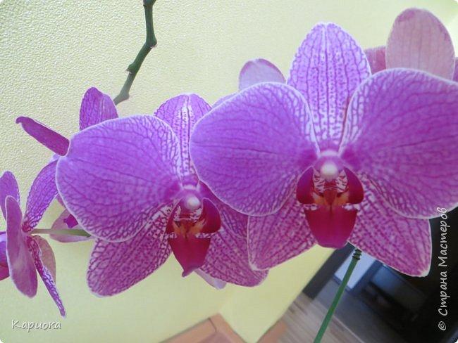 Здравствуйте жители См! Сегодня я к вам не с рукотвроными цветочками а с живыми!  Хочу представить вам мою цветочную любовь! Мои орхидеи))  фото 5