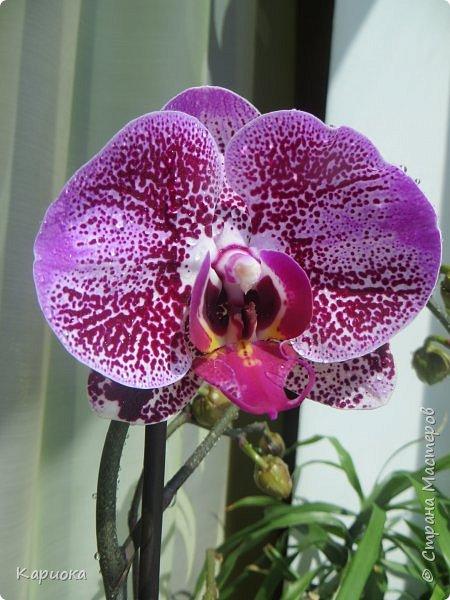 Здравствуйте жители См! Сегодня я к вам не с рукотвроными цветочками а с живыми!  Хочу представить вам мою цветочную любовь! Мои орхидеи))  фото 6